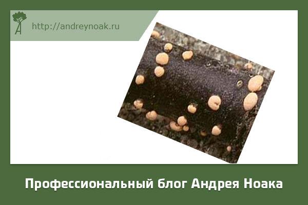 Нектриевый некроз лиственных пород