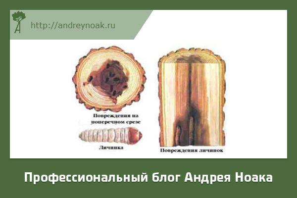 Повреждение насекомыми древесины