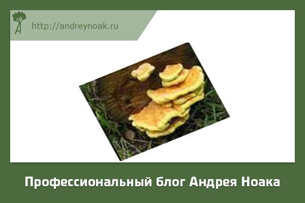 Серно желтый трутовик